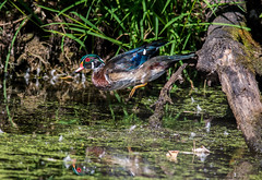 Look Out Below (b88harris) Tags: wood duck drake fall plumage green red orange blue white black yellow nature natural hiking tree trees trail nikon d7200 nikkor 300mm lens bird brown specanimal