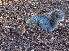 Rat meets Squirrel (Belinda Fewings (3 million views. Thank You)) Tags: squirrel rat ratty brown bournemouthgardens bournemouth wildlife wild nature animals vermin belindafewings outside out outdoors panasoniclumixdmc brownrat grey september autumn faceoff meeting