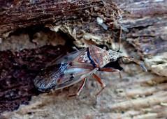True Bug (bugldy99) Tags: insecta hexapod hexapoda animal arthropod arthropoda hemiptera nature outdoors insect bug