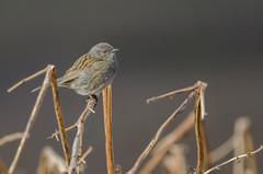 Dunnock: An under appreciated bird (Tim Melling) Tags: prunella modularis dunnock hedge sparrow peak district moors timmelling