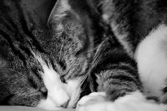 Chat NB (ghr.photographies) Tags: dog chien chat cat animaux animals nb pet domestiques bw mignon cute family