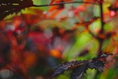 DSC_0010 (criscrot) Tags: parcsaintemarie nancy lorraine bokeh colors d200 50mm18 automne autumn couleurs