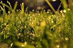 shine (joy.jordan) Tags: grass dew morning light bokeh blur