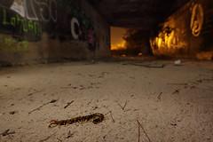 Bajo el túnel (Antonio Martínez Tomás) Tags: nocturna urbana cienpies miriápodo escolopendra invertebrado