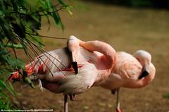 Zoo Hannover (Gelegenheitsknipser) Tags: marcopagel mpfotonet gelegenheitsknipserde 2010 hannover zoo tierpark tiere tier erlebniszoohannover niedersachsen ni h norddeutschland deutschland vogel flamingo