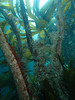 in the kelp forest (richie rocket) Tags: scillies seasearch scillyisles cornwall uk underwater scuba diving