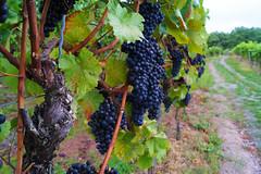 Ein Herbstspaziergang - Apostelgarten/Michelbach (ttundh) Tags: reben weinberg rotwein grn herbst trauben vineyard grapes