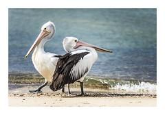 The Pelican Strut! (red stilletto) Tags: pelican pelcians bird birds indentedheads bellarinepeninsula beach sea