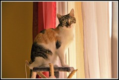 A chat perch ! (Les photos de LN) Tags: cat pet animaldomestique flin mammifre isabelle chatte