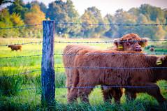 Curious Little Ones (lutzheidbrink) Tags: cow animal nikon d5000 landscape nature photography