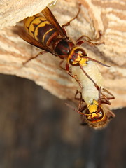 European hornet (Mike Mckenzie8) Tags: vespa crabro british uk wild wildlife insect macro swarm nest paper forest tree woods bug flying larvae autumn