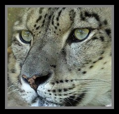 Snow Leopard (Panthera uncial) (Annette Rumbelow) Tags: marwellzoo annetterumbelowwilson spots beautifuleyes whiskers closeup border bigcats captivebreeding captivity predator carnivore adorable gorgeous cute endangered outsidespace femalesnowleopard snow panthera uncial