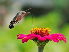 still going strong (mishko2007) Tags: korea 105mmf28 macroglossumstellatarum hummingbirdhawkmoth