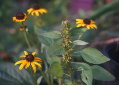 DSC04058 (Old Lenses New Camera) Tags: sony a7r schneider schneiderkreuznach xenon 5cm 50mm f2 plants garden flowers blackeyedsusan