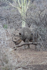 DSC00211-2 (Cyn Reynolds) Tags: blackrhino tamron150600 southafrica zulunyala lightroom 2016 rhinoceres a77ii 150600 fb