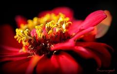 Inside the Red Flower - IMG_2543_2 (Swaranjeet) Tags: southindia coorg swaranjeet sjs ef100mmf28lisusmmacro eos5dmkii 2011 favourites photos singh mumbai thane india swaranjeetsingh sjsvision sjsphotography swaranjeetphotography hindustan indie macro