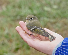 Ruby-crowned Kinglet in hand (jaybirding) Tags: animal banding bird falmouth leicavlux114 maine me nature outdoor stormer us