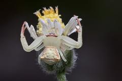 White crab spider (arian.suresh) Tags: 750d2016img9017 ariansuresh skanfarmhouse nellore andhrapradesh india spider crabspider flowercrabspider whitecrabspider whitespider animalia arthropoda chelicerata arachnida araneae opisthothelae araneomorphae dionycha thomisoidea thomisidae thomisinae misumenini thomisus thomisuspugilis