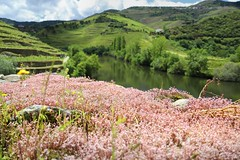 Natural beauty of flowering moss along the Douro Landscape (Bn) Tags: pesodaregua rioduore unesco werelderfgoed duore valley wines port sandeman taylors cockburns alto upper douro pesodargua portugal river hillside grapes vineyards portwine riverside rural bridge train scenery landscape spring riotinto ermesinde valongo paredes penafiel livracao marcodecanaveses pinho eiffel rio tedo quintadotedo estate flowering moss