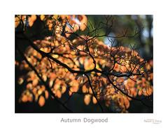 Autumn Dogwood (baldwinm16) Tags: mortonarboretum il illinois fall autumn dogwood fallcolor autumncolor midwest season october red orange autumnleaves nature natureofthingsphotography