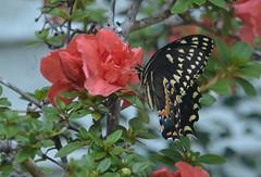 Butterfly and Azalea (vbvacruiser) Tags: virginia virginiabeach butterfly swallowtail spicebushswallowtail flower azalea