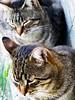 (Luca3803) Tags: nature natura felines catlike feline felini felino pets pet animaredomestico animale animals animal animali gatto italy italia cats cat gatti