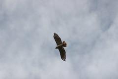 Flying (historygradguy (jobhunting)) Tags: easton ny newyork upstate washingtoncounty bird animal flight flying hawk sky up