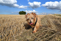 Archie in the cornfield (II) (Aliy) Tags: archie tongue field stubble cornfield dog puppy chestfield whitstable walk dogwalk
