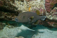 puff (BarryFackler) Tags: fish arothronmeleagris spottedpufferfish spottedpuffer pufferfish vertebrate oopuhue guineafowlpuffer ameleagris keke guineafowlpufferfish puffer diving konadiving bigislanddiving hawaiidiving diver sealifecamera 2016 scuba reef pacificocean hawaii water zoology bay fauna honaunau ocean hawaiicounty being island life organism barronfackler dive aquatic coralreef marineecology tropical seacreature outdoor marinelife creature underwater polynesia kona hawaiiisland animal biology coral westhawaii ecosystem honaunaubay konacoast pacific sea bigisland ecology undersea southkona marinebiology barryfackler sandwichislands hawaiianislands marineecosystem saltwater nature sealife