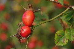 Kibuvitsamarjad (Jaan Keinaste) Tags: pentax k3 pentaxk3 eesti estonia loodus nature kibuvits rosa punane red