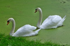 Schwäne im Grünen - explore Oct 4, 2016 # 134 (mama knipst!) Tags: schwan swan rheinauebonn tier animal natur