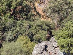 Griffon vulture (Eduardo Estéllez) Tags: buitreleonado buitre vuelo volar saltodelgitano ave pajaro ornitologia especieprotegida parquenacional animal rocas acantilado escarpado color horizontal animalsalvaje silvestre medioambiente airelibre natural naturaleza extremadura europa eduardoetellez estellez monfragüe españa