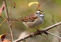 White-throated Sparrow (James Lees Photography) Tags: whitethroatedsparrow sparrow bird birds canadianbird canadianwildlife ontario canada nature wildlife