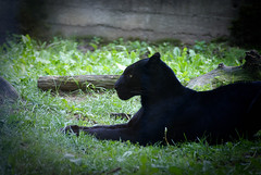 DSC03386-2 (hofferp) Tags: animallove animalphotos animals zoobudapest zoolife hungary sostozoo sonya300 sonydslr sonycam tiger whitelion littlepanda katta lion zebra orangutan
