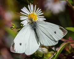 Cabbage White (tresed47) Tags: 2016 201610oct 20161005marshcreekmisc butterflies cabbagewhite canon7d chestercounty content folder insects macro marshcreek pennsylvania peterscamera petersphotos places takenby technical us white ngc