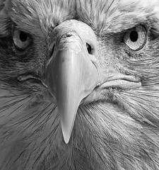Bald Eagle - up nice & close (ORIONSM) Tags: alaskan american bald eagle bird prey raptor portrait monochrome blackwhite eyes stare beak stern pentaxk3 sigma150500