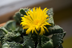 .. (akk_rus) Tags: tamronspaf90mmf28dimacro tamron 90mm f28 nikon d80 nikond80 nature  flower flowers