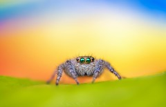 At the sunset... (The unKnown Saif) Tags: summer eyes eye jumping spider insect beauty legs orange green blue macro closeup mpe 65 canon explore explorer makro