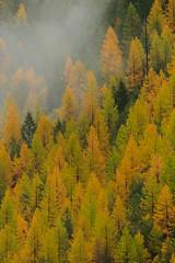20161015-120214 (haroldshields1) Tags: goatlick larch fall autumn glaciernationalpark montana