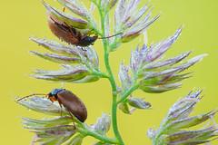 Comb-clawed beetles (johnhallmen) Tags: insect macro coleoptera tenebrionidae sonynex7 canonmpe65 zerenestacker