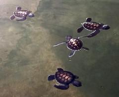2016-10-03 at 8.22.06 PM (H Sinica) Tags: srilanka  ceylon  kosgoda turtle farm hatchery