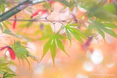 Mapleleaves (littlekiss) Tags: mapleleaves autumn nature vandusenbotanicalgarden vancouver littlekissphotography