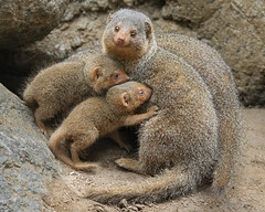 Proud Mama and the Mongoose Family (Penny Hyde) Tags: babyanimal mongoose sandiegozoo