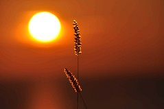 Face The Sun (FlorDeOro) Tags: nikond90 photography sunset nature sky orange colorful straws grass glow light detail dof bokeh sun summer gotland sweden