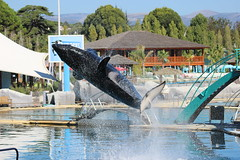 IMG_6850 (Bebelouga) Tags: orque marineland killerwhale orca