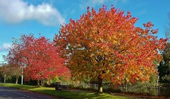 The Beauty of Autumn (Eddie Crutchley) Tags: europe england cheshire outdoor nature sunlight beauty autumn colour blueskies trees