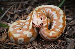 Python brongersmai (daniel_hinrichsen) Tags: t albino male python brongersmai red large snake herp herptile reptile animal cold blood pet cbe