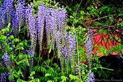 May Day (Scottwdw) Tags: flowers newyork building tree brick spring nikon village central may cny vegetation flowering baldwinsville japanesewisteria greenpurple d700 scottthomasphotography onondagacountry afsnikkor28300mmf3556gedvr