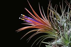 Tillandsia ionantha - 5 (Luiz Filipe Varella - 50.000+ photos!) Tags: mexico klein plantas mexican tillandsia bromeliaceae ionantha filipe luiz bromeliads varella bromélias