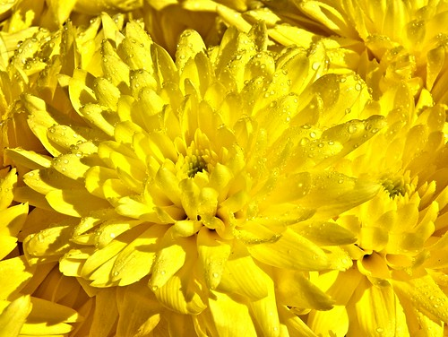 Yellow-chrysanthemum